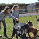 Ferme pédagogique : les chèvres